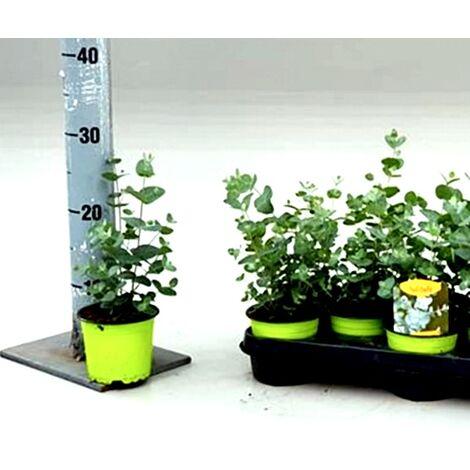 Planta Natural Eucalipto Gunnii en Maceta de M10,5