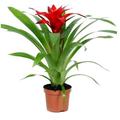 Planta Natural Guzmania Roja en Maceta de M9