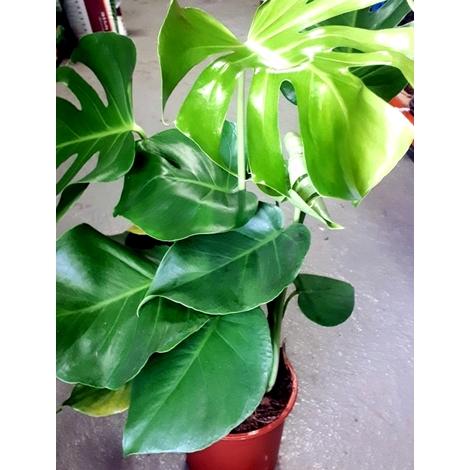 Planta Natural Monstera Deliciosa. Costilla de Adan. 30-40 Cm