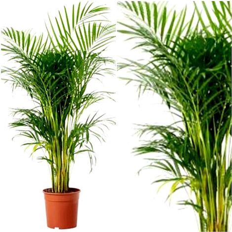 Planta Natural Palmera Areca en Maceta M25, Altura 150 - 170 Cm