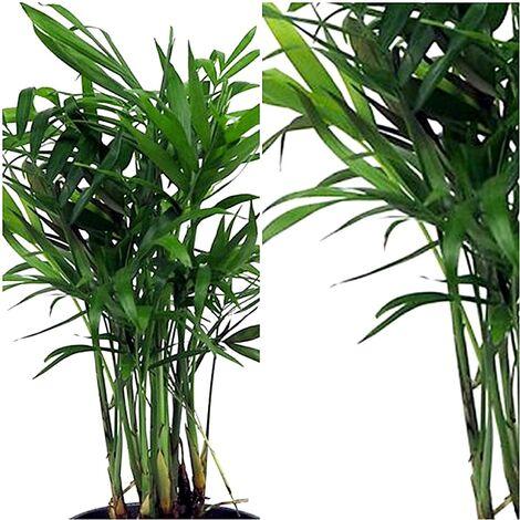 Planta Natural Palmera Chamaedorea. 20 Cm