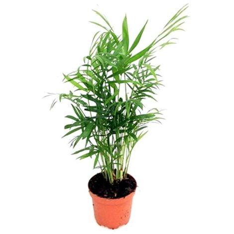 Planta Natural Palmera Chamaedorea Elegans en Maceta M9