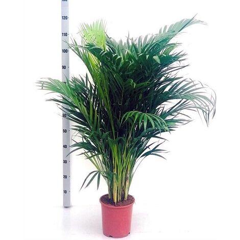 Planta Natural Palmera Dypsis Lutescens. 120 Cm