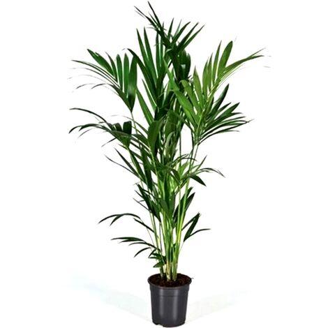 Planta Natural Palmera Howea Forsteriana. 150 Cm