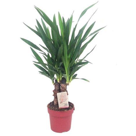 Planta Natural Palmera Yucca Yuca 3 Troncos. en Maceta M19