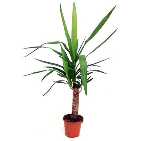Planta Natural Palmera Yucca Yuca. en Maceta M14