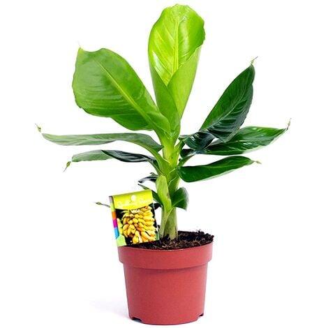 Planta Natural Platanera Musa Tropicana