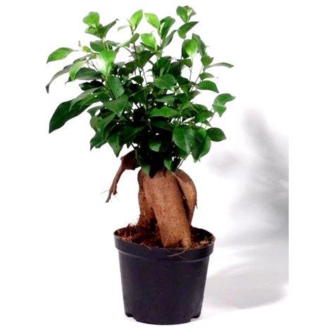 Planta Natural Pre Bonsai Ficus Ginseng. 30 Cm