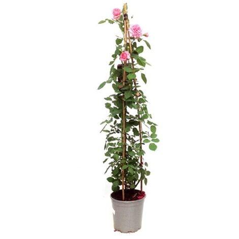 Planta Natural Rosal Trepador en Maceta M20. 80 - 100 Cm