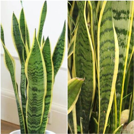 "main image of ""Planta Natural Sanseviera. Espada de San Jorge. Altura 50 Cm"""