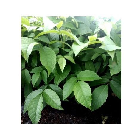 Planta Nogal de Fruto. Juglans Regia. + 15 Cm
