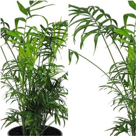 Planta Palmera Chamaedorea. 70 - 80 Cm
