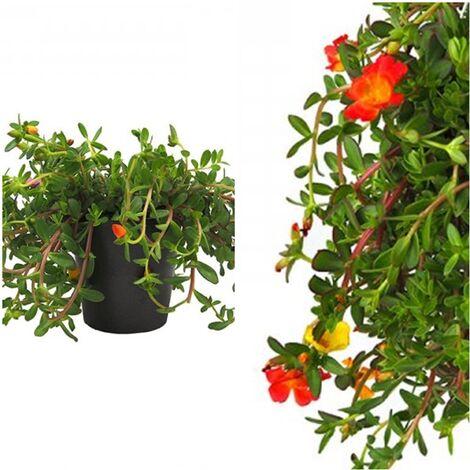 Planta Rastrera y Colgante Flor de Seda, Portulaca, Verdolaga