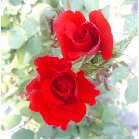 Planta Rosal Sevillano Paisajistico. 40 - 60 Cm