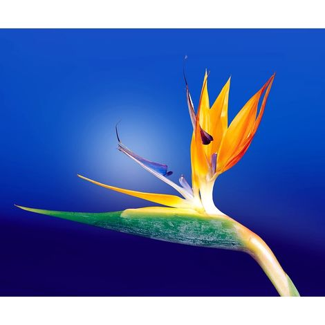 Planta Strelitzia Reginae. Ave del Paraiso