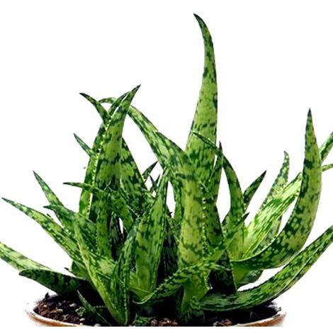 Planta Suculenta Natural Aloe Jurassic Spider