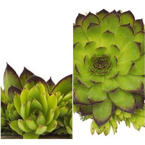 Planta Suculenta Siempreviva. Sempervivum Tectorum. 15 - 20 Cm