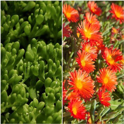 Planta Tapizante Delosperma de Flor Naranja. Uñas de Gato