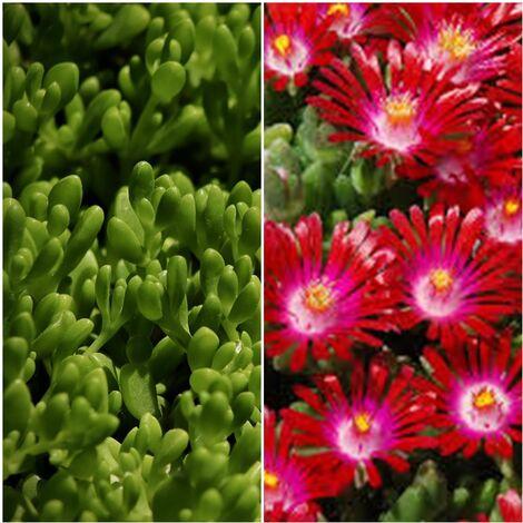 Planta Tapizante Delosperma de Flor Roja. Uñas de Gato