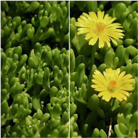 Planta Tapizante Delosperma. Uñas de Gato Flor Amarilla