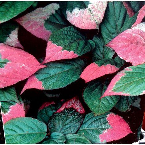 Planta Trepadora Actinidia Kolomikta
