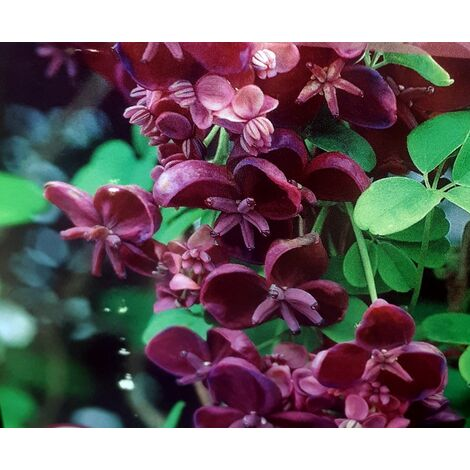 Planta Trepadora Akebia Kinata. Aquebia Chocolate