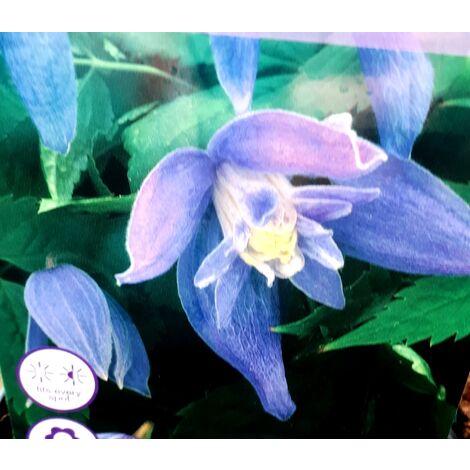 Planta Trepadora Clematis Alpina Azul. 30 - 40 Cm