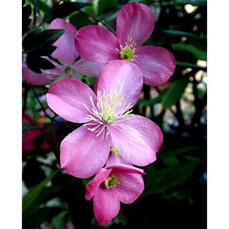 Planta Trepadora. Clematis Rosa. 30 - 40 Cm