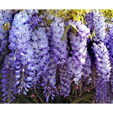 Planta Trepadora de Glicinia, Wisteria. 50 Cm