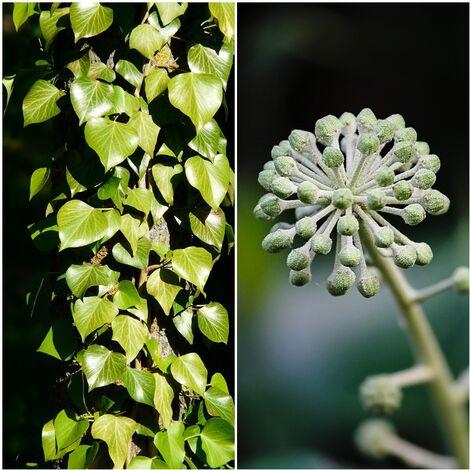 Planta Trepadora de Hiedra, Hedera Helix. 50 - 60 Cm