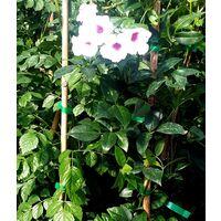 Planta Trepadora de Pandorea Rosea, Bignonia Jasminoides O Bignonia Blanca. 100 - 120 Cm