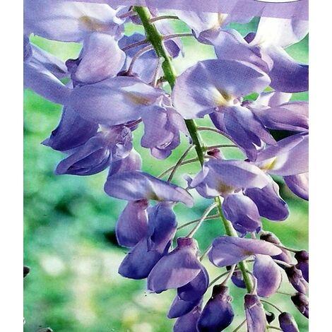Planta Trepadora. Glicinia Azul, Wisteria Sinensis. 30 - 50 Cm
