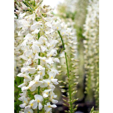 Planta Trepadora. Glicinia Blanca, Wisteria Longisima Alba. 30/50 Cm