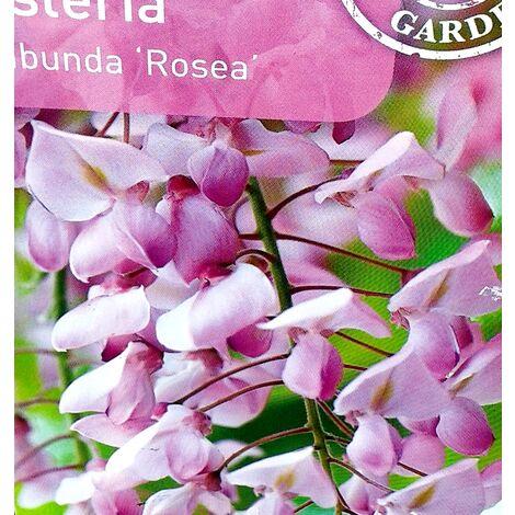 Planta Trepadora. Glicinia Rosa, Wisteria Floribunda Rosea. 30/50 Cm