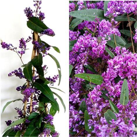 Planta Trepadora Hardenbergia Violacea. 80 - 90 Cm