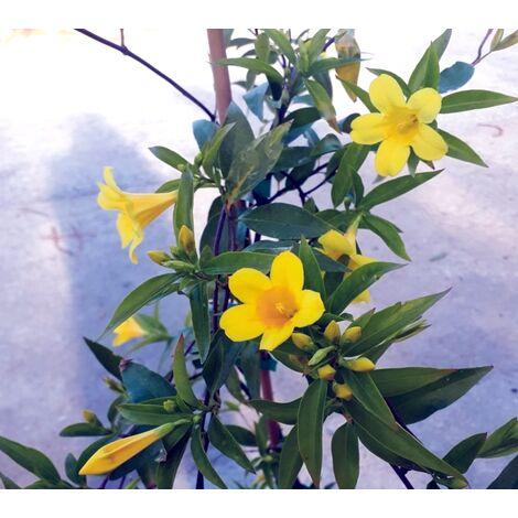 Planta Trepadora Jazmin Amarillo de California. Gelsenium Sempervirens. 100 Cm