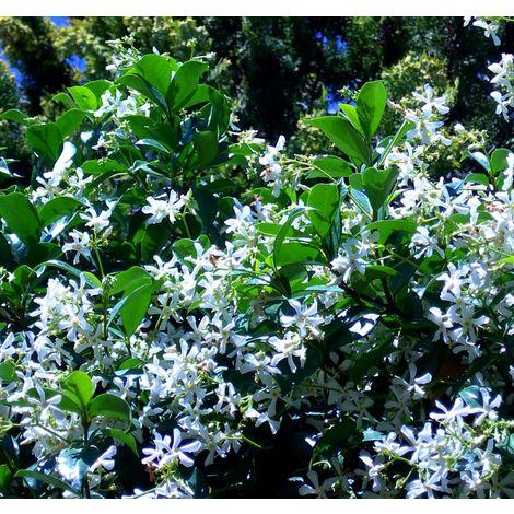 Planta Trepadora Jazmín Estrellado, Falso Jazmín, Trachelospermun Jasminoides. 100 - 120 Cm