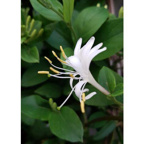 Planta Trepadora Madreselva. Lonicera Japonica Halliana Blanca.