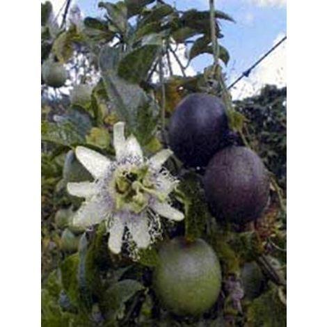 Planta Trepadora. Maracuya, Granadilla, Frutos de Pasionaria. Passiflora 40 - 50 Cm