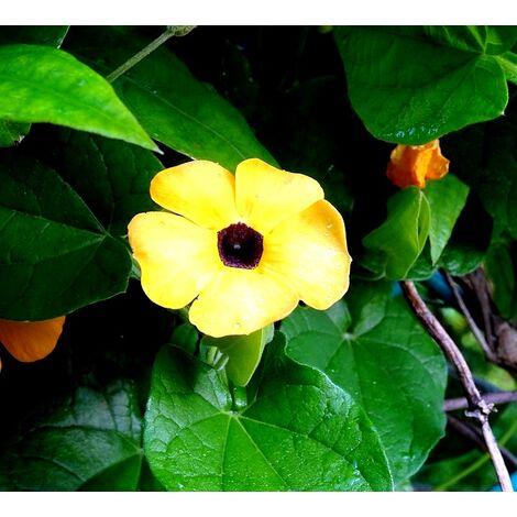 Planta Trepadora Ojos de Poeta Thunbergia Alata Amarilla