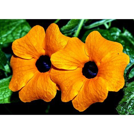 Planta Trepadora Ojos de Poeta Thunbergia Alata Naranja