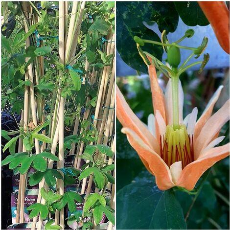 Planta Trepadora Pasionaria O Passiflora Aurantia. 50 - 60 Cm