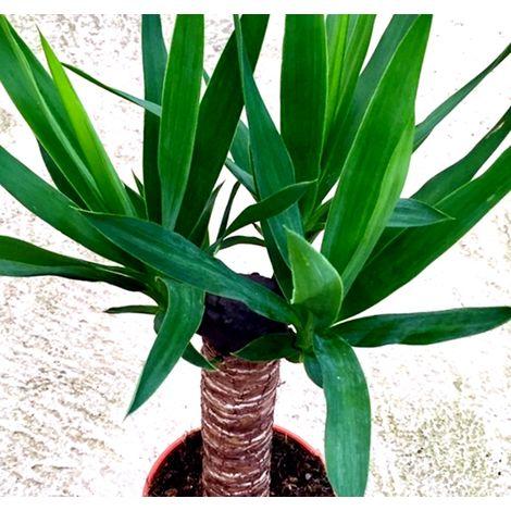 Planta Tronco Yuca. Yucca Elephantipes