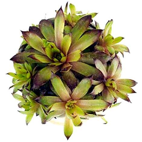 Plantas Cactus Suculentas Sempervivum Aracnoideum, Siempreviva
