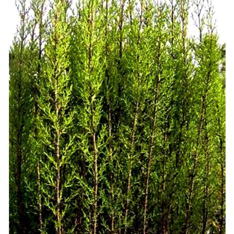 Plantas Cipreses 60 - 80 Cm, Cupressus Sempervirens. para Setos, Pantallas