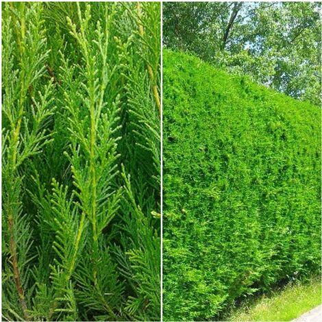 Plantas de Leylandii. Cupressocyparis. Seto Crecimiento Rápido. 50 - 60 Cm