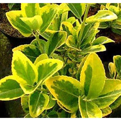 Plantas de seto