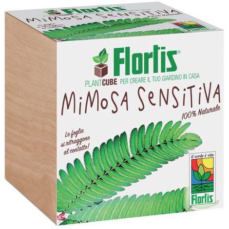 Plantcube Mimosa Sensitive