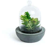 Plante crassula Zelena