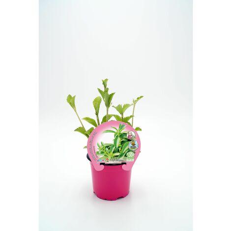 Plantón Ecológico De Stevia Maceta 10,5 Cm De Diámetro